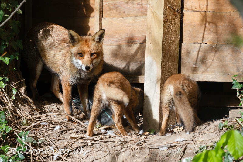 Red fox (Vulpes vulpes) vixen and cubs, Kent, England, UK © www.edbrown.co.uk