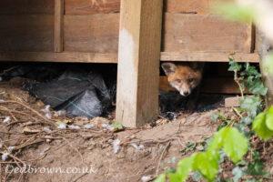 Red fox (Vulpes vulpes) cubs, Kent, England, UK © www.edbrown.co.uk