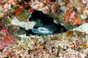 White tip reef sharks, Sulawesi, Indonesia. © www.edbrown.co.uk