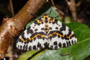 Magpie Moth(Abraxas grossulariata) East Sussex, England, UK