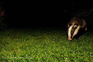 Badger (meles meles) Eat Sussex garden wildlife, England, UK © www.edbrown.co.uk