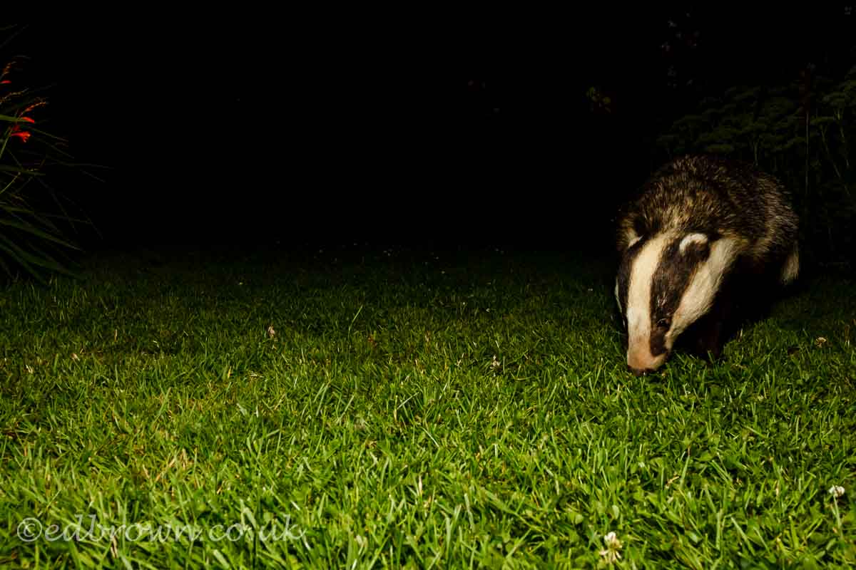 Badger (meles meles) Eat Sussex garden wildlife, England, UK © www.edbrown.co.uk