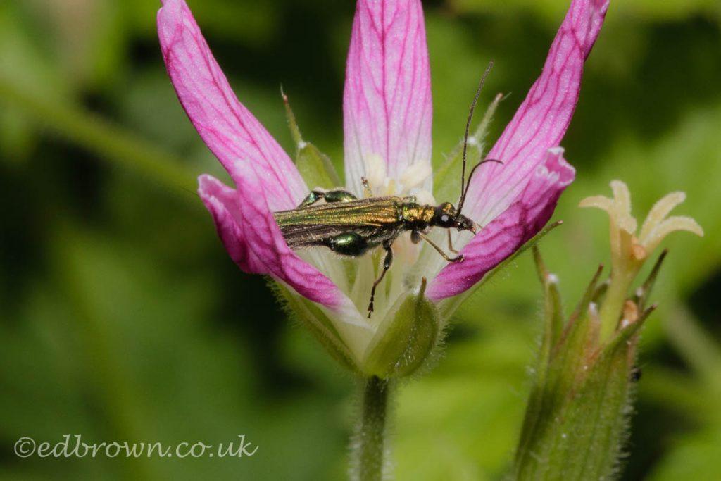 Thick-Legged Flower Beetle (Oedemera nobilis) East Sussex garden, England, UK © www.edbrown.co.uk