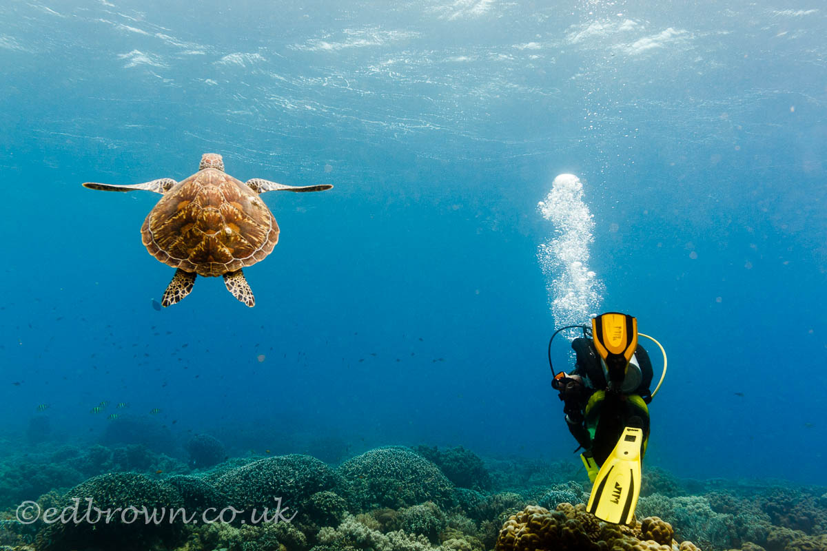 Green turtle and diver