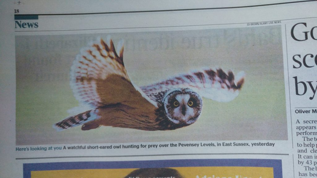 Short eared owl, as seen in The Times, UK