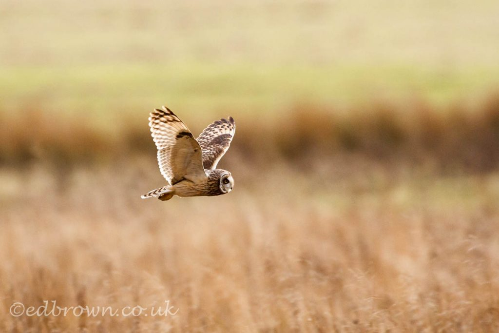 Short-eared owl (Asio flammeus) hunting over fields, East Sussex,England,UK