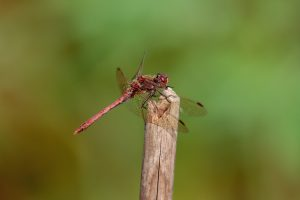 Ruddy Darter, 300mm F4LIS ISO 200 F4 1/500 sec