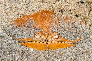 Box crab, Bunaken marine park