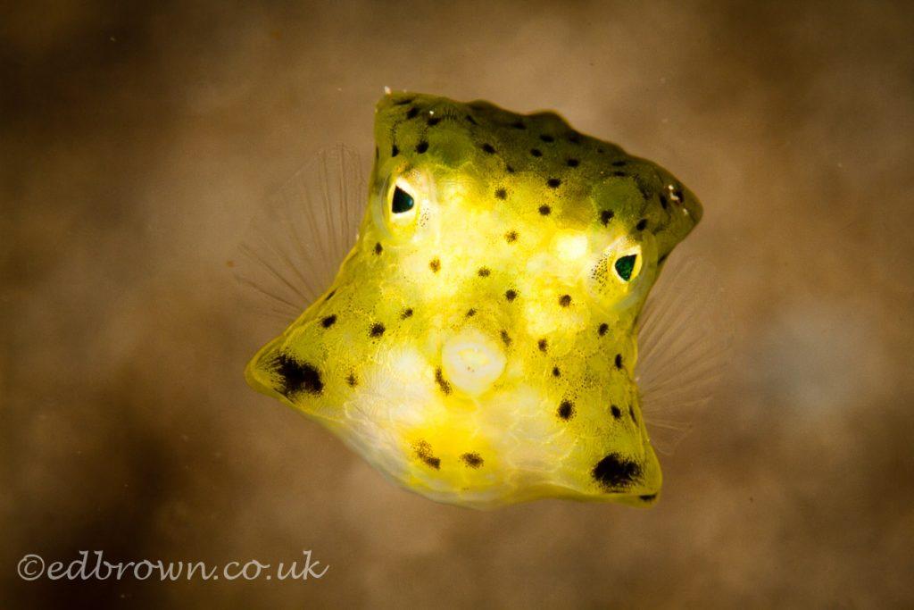 Juvenile box fish, Bunaken marine park