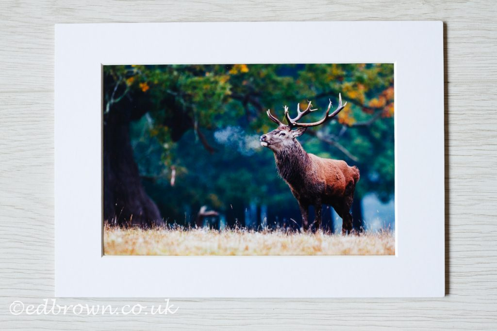Red deer stag, wildlife print for sale