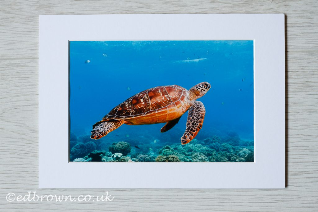 Green turtle, Philippines, wildlife print for sale