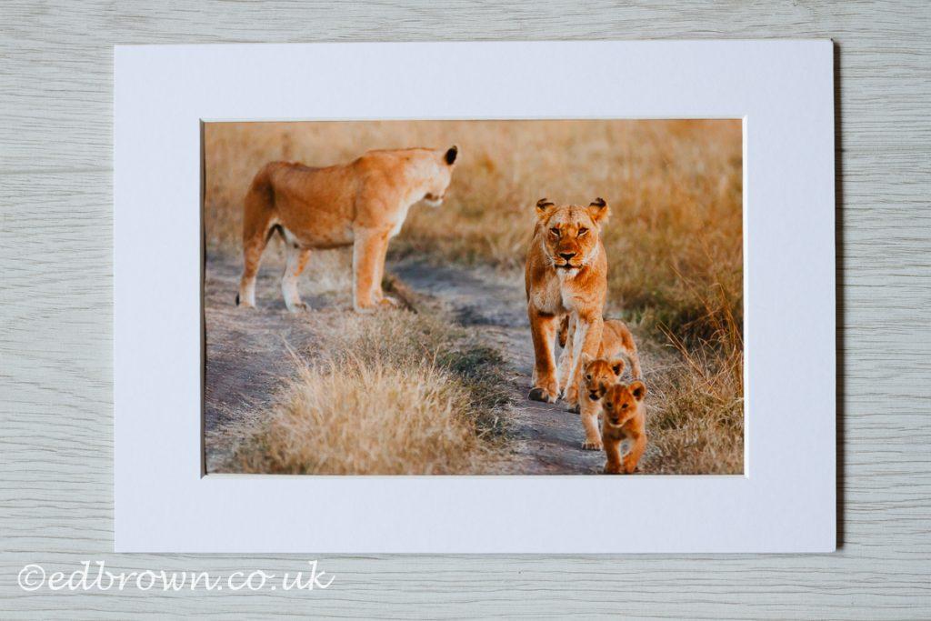 Lioness and cubs, Masai Mara, Kenya, wildlife print for sale
