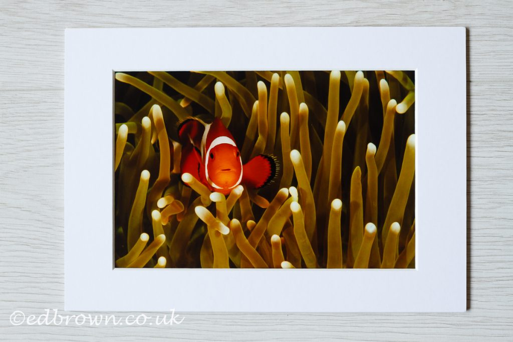 Clown fish, Indonesia, wildlife print for sale