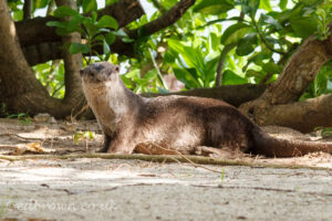 Smooth coated otter (Lutrogale perspicillata) portrait, Singapore