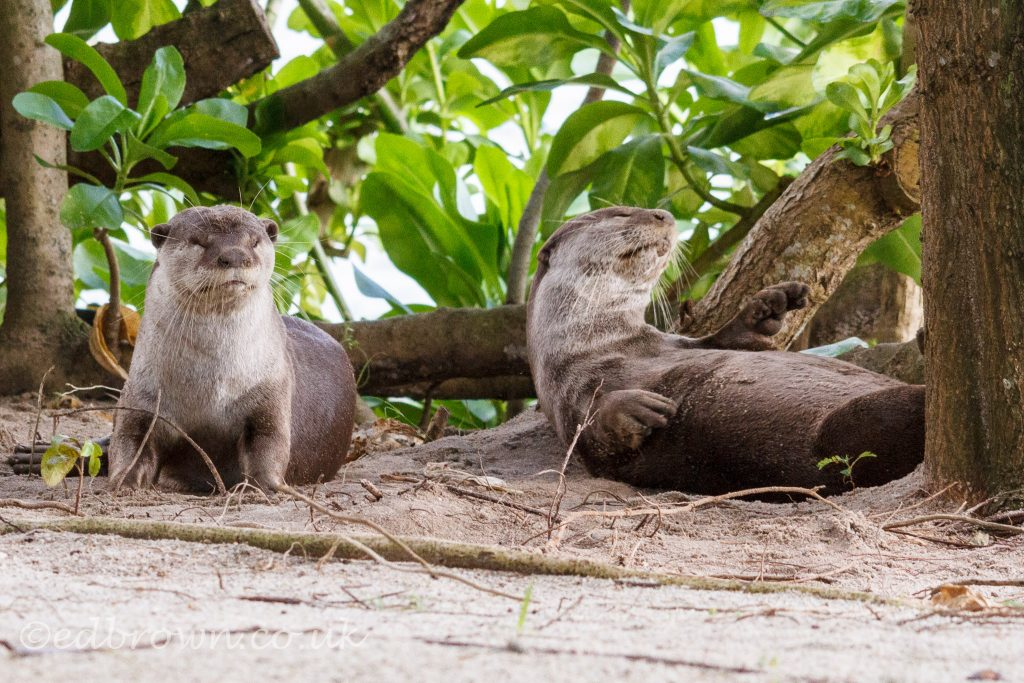 Sleepy Smooth coated otter (Lutrogale perspicillata) Singapore