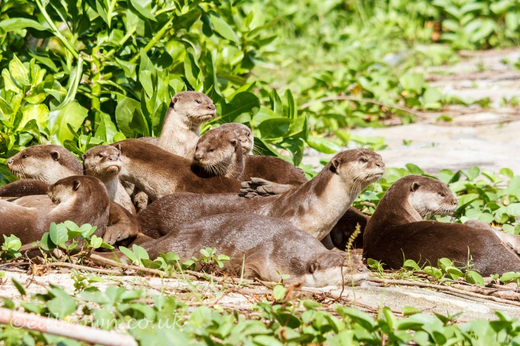 Group of Smooth coated otters (Lutrogale perspicillata) Singapore