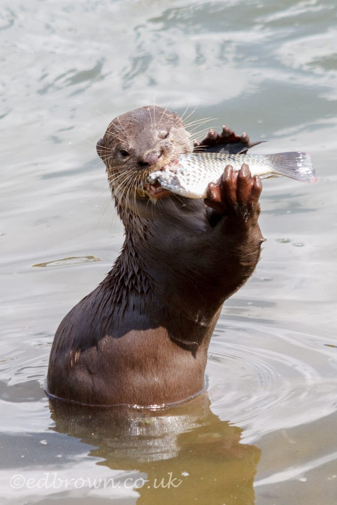 Smooth coated otter (Lutrogale perspicillata) eating fish Singapore