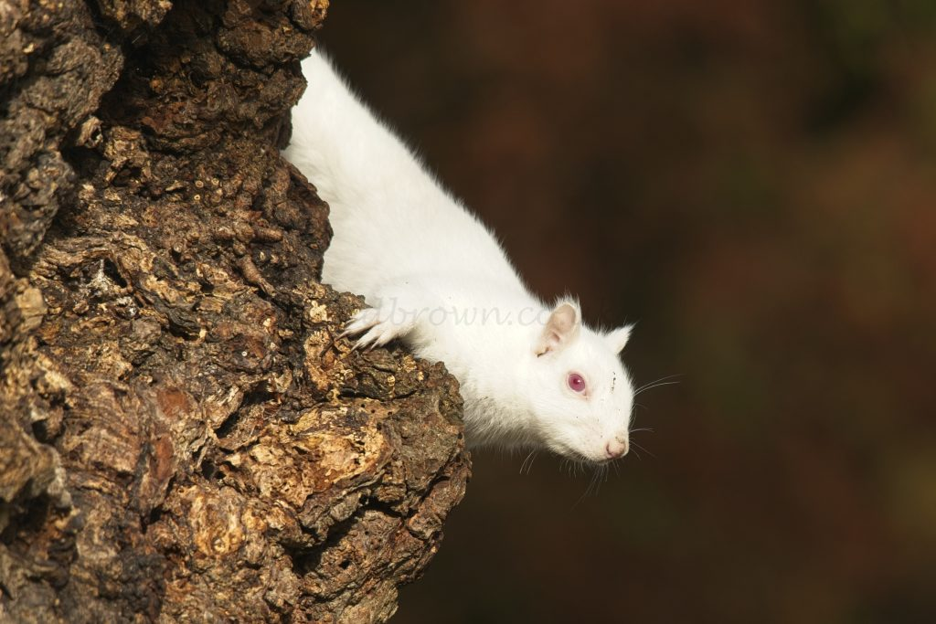Albino squirrel, Eastbourne