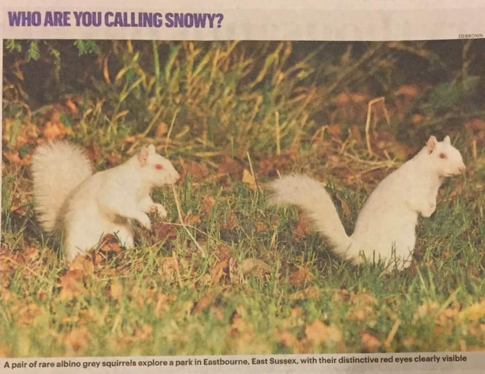 Albino, or white squirrels, Eastbourne
