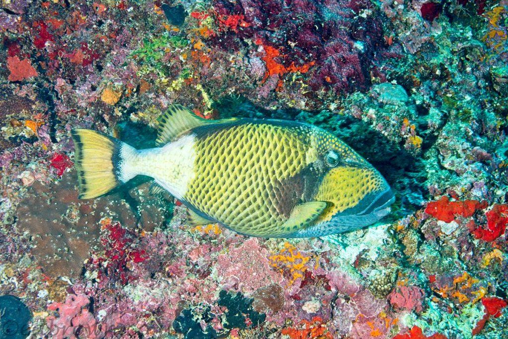 Titan triggerfish, Ellaidhoo house reef, Maldives