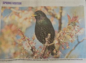 Starling sitting among blossom on a cherry tree