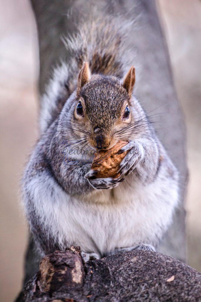 Grey squirrel eating a walnut