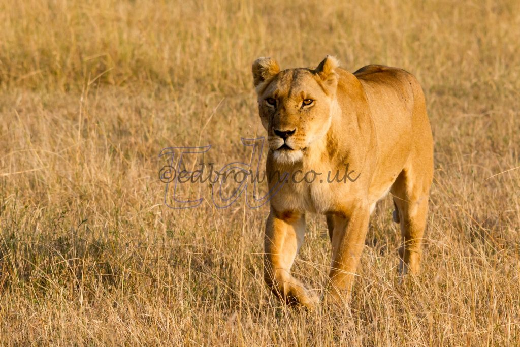 Lioness on the prowl,Masai Mara